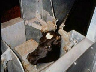 अवैधरित्या होणारी गोवंश हत्या प्राणी कल्याण मंडळ शोधून काढते; पण पोलिसांना ते जमत नाही !